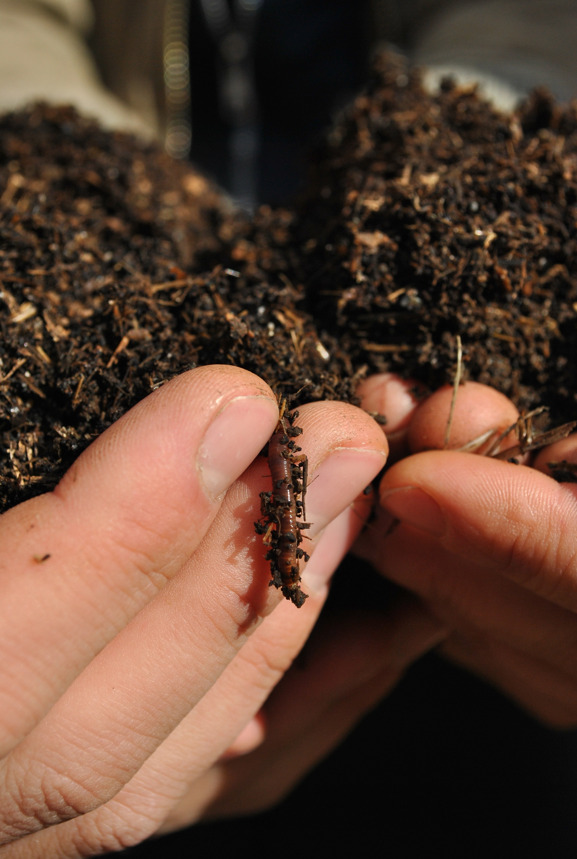 Vermicompost Hands + Worm